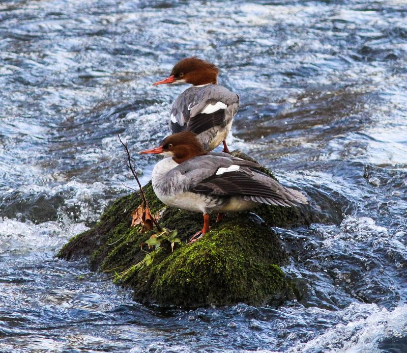 A two mergansers-1