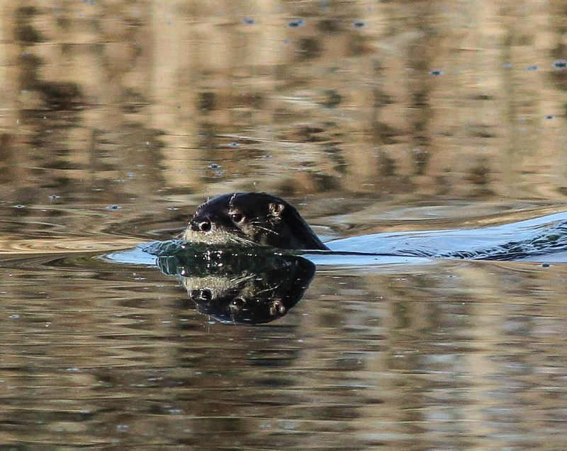 A one otter 11 (1 of 1)