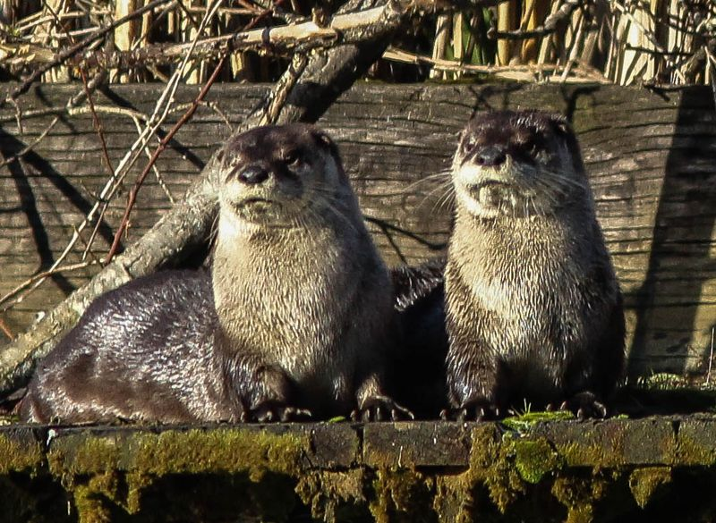 A two otters 21 (1 of 1)-2