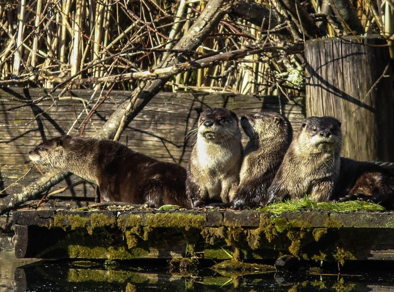 A four otters 16 (1 of 1)