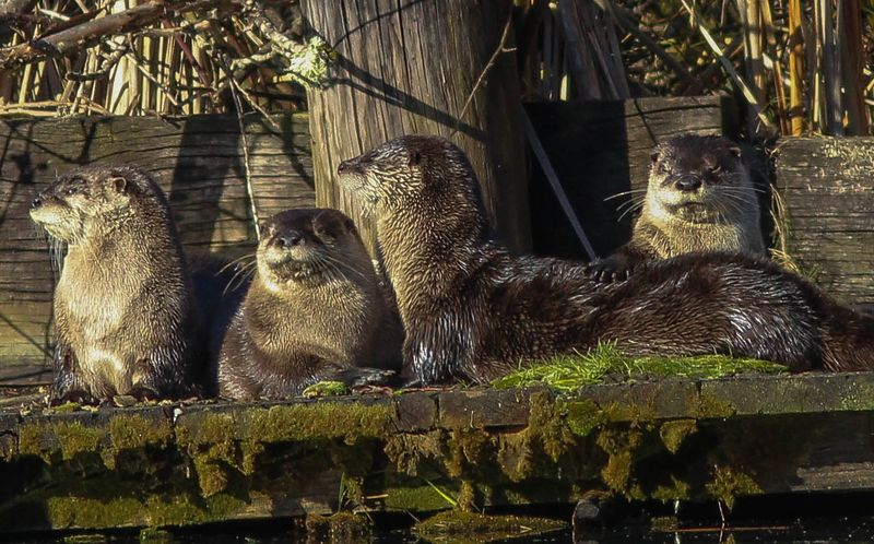 A four otters 12 (1 of 1)