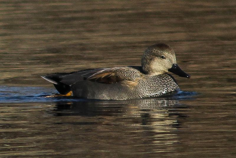 A male gadwall 3 (1 of 1)
