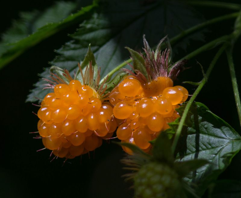 A salmonberry 5 (1 of 1)