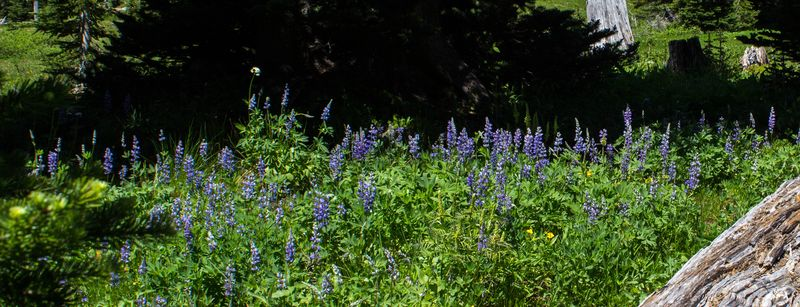 A lupine 2 (1 of 1)