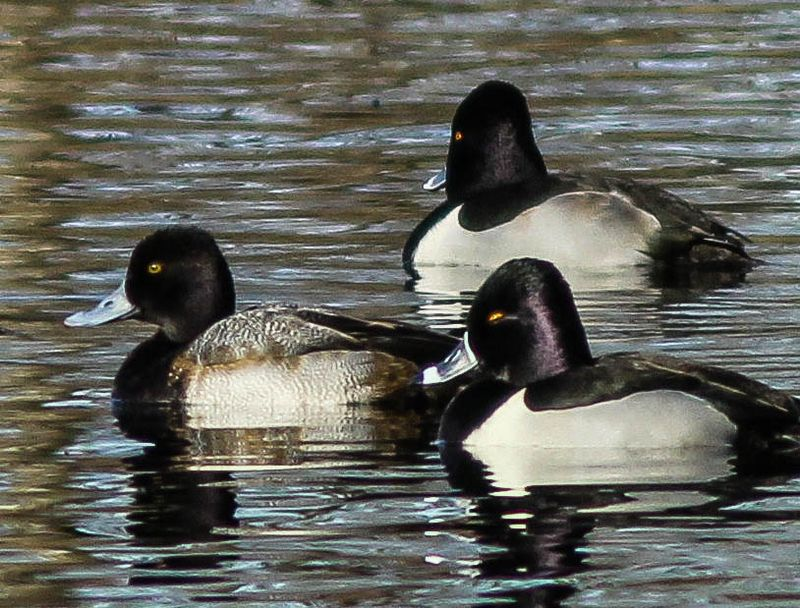 A greater scaup and ring neck ducks 1 (1 of 1)