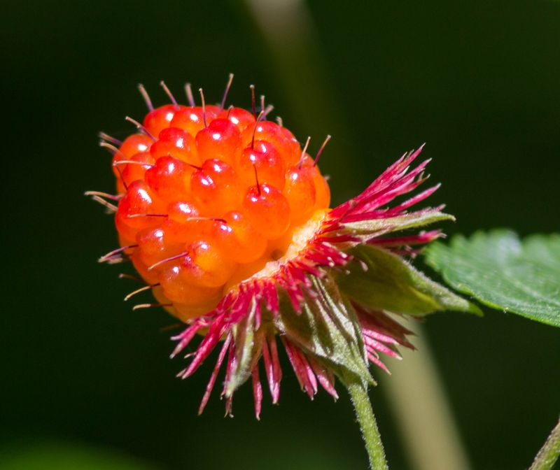 A salmonberry 2 (1 of 1)
