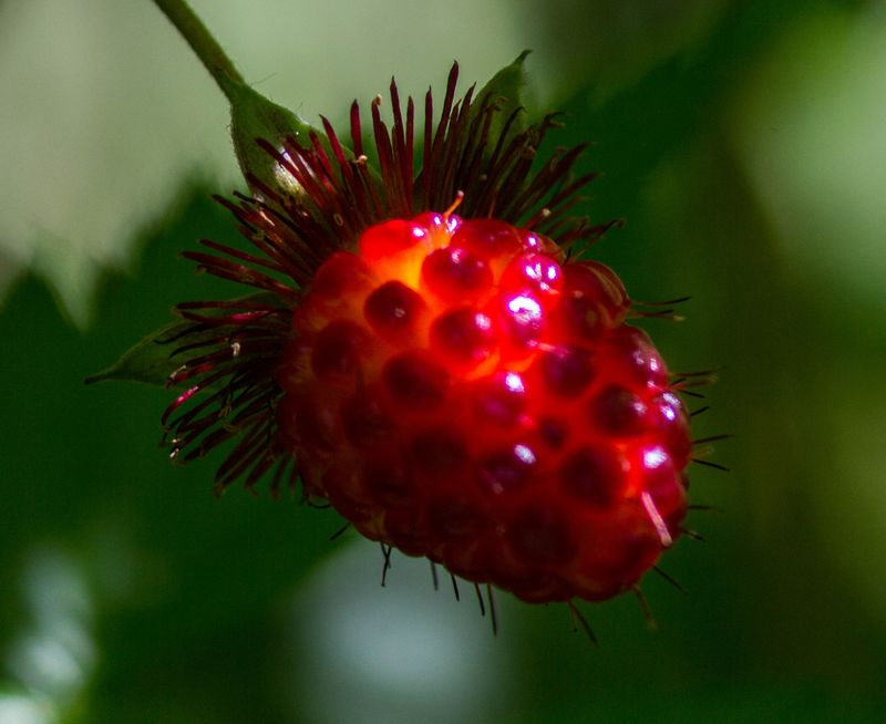 A salmonberry 1 (1 of 1)