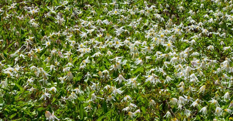A sea of avalanche lilies (1 of 1)