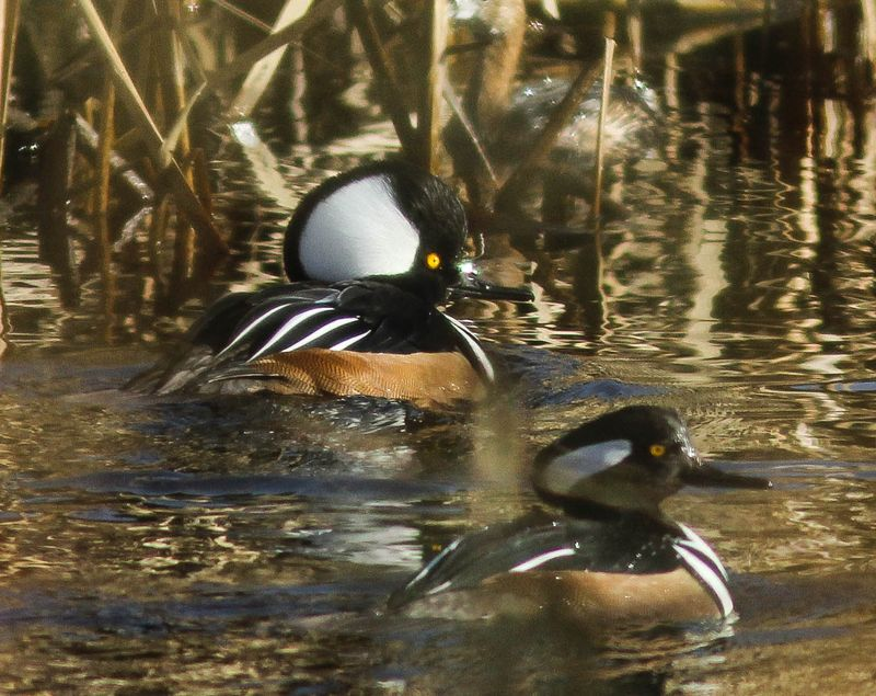 A male hooded mergansers 1 (1 of 1)