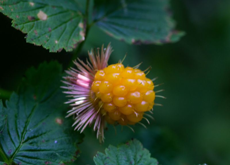 A salmonberry 6 (1 of 1)