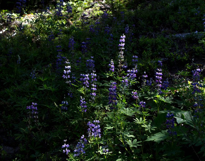 A lupine 2 (1 of 1)-2