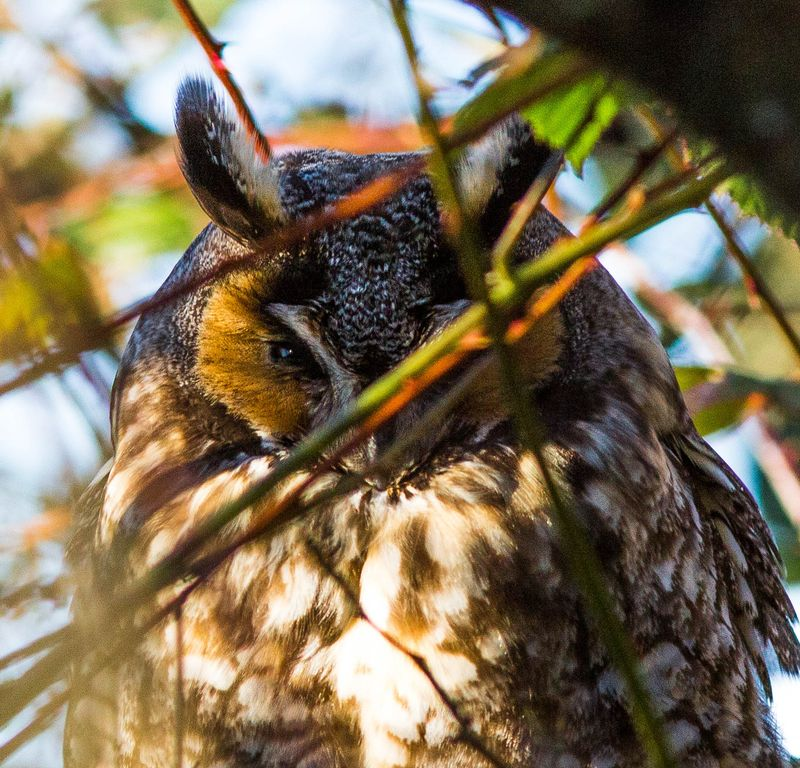 A long eared owl hide and seek 10 (1 of 1)