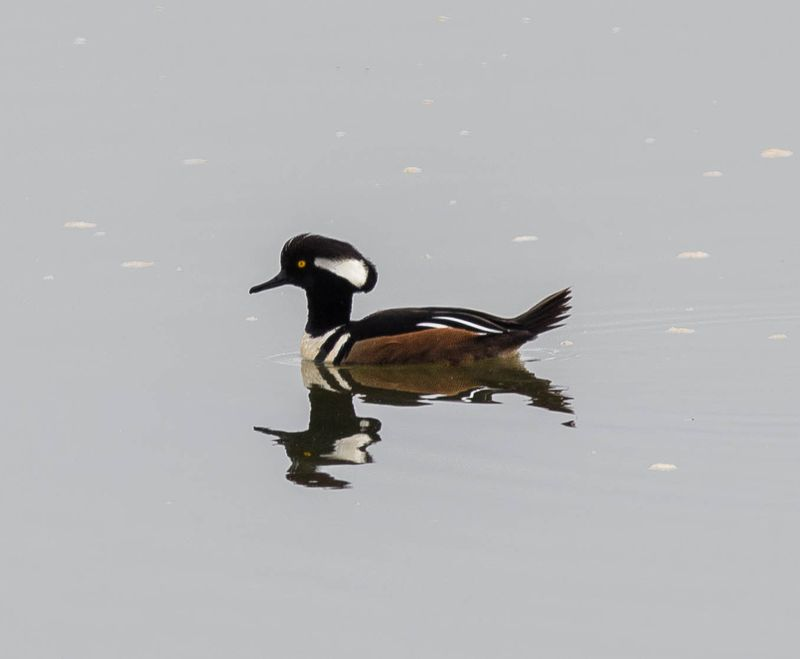 A hooded male merganser 1 (1 of 1)