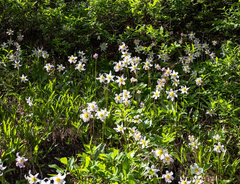 Avalanche lilies 1-4544