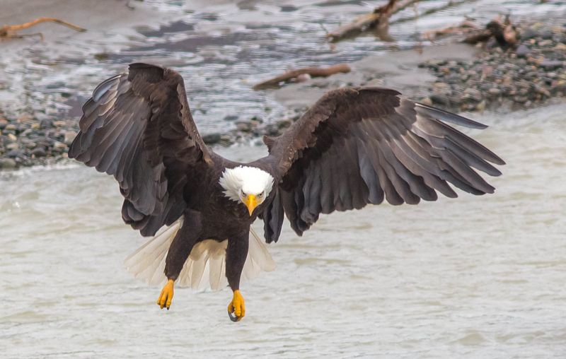 Eagle on Approach 2