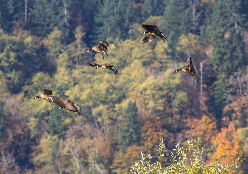 Geese Flying 10-1185