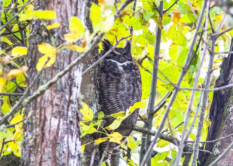 Great Horned Owl 3-1237