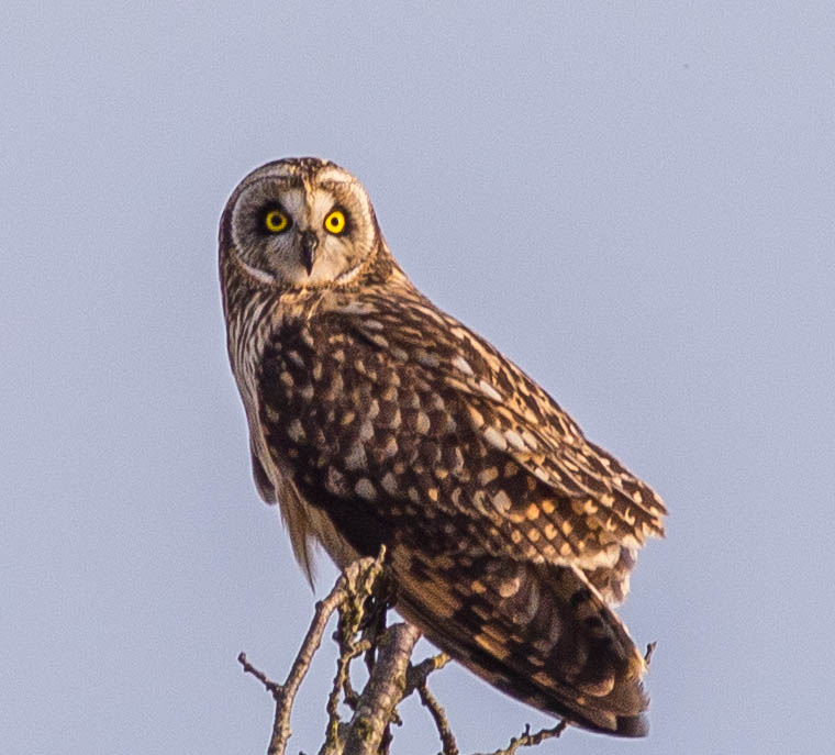 A short eared owl 2 (1 of 1)