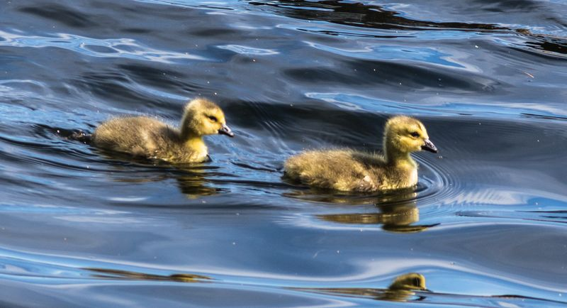 Goslings 1 (1 of 1)