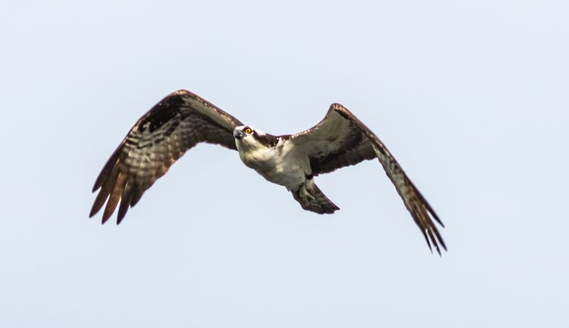 Osprey 2 (1 of 1)