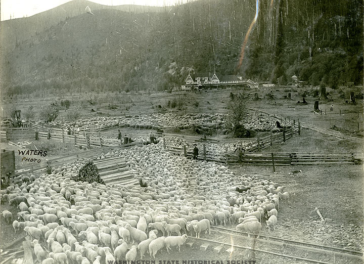 Sheep ranching