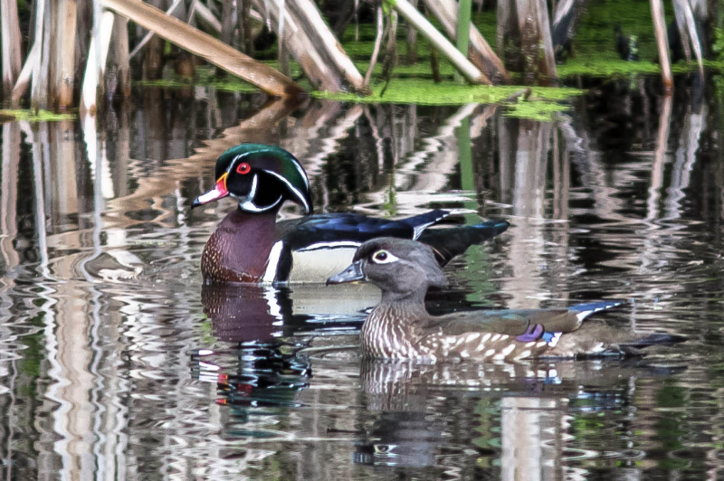 Mr. & Mrs. Wood Duck
