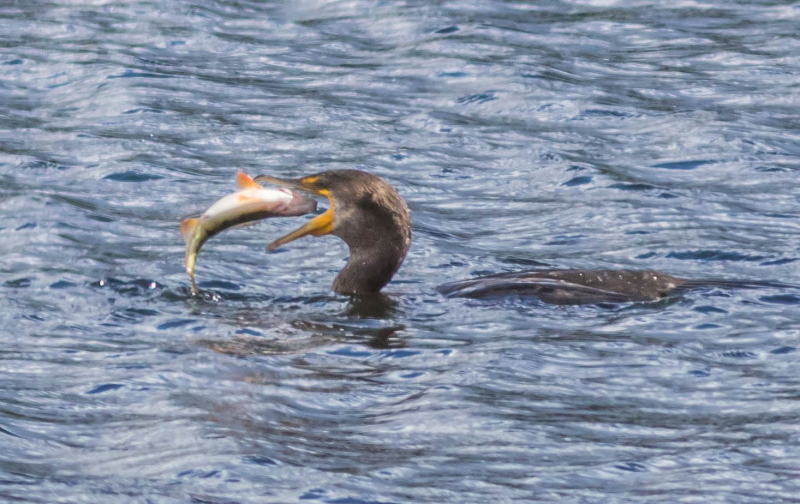 Cormorant Having Lunch