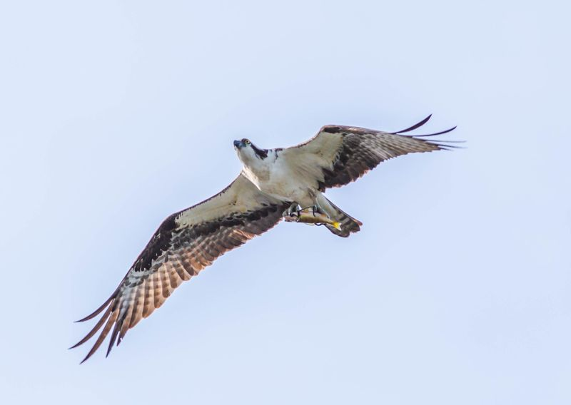 Osprey with Fish On 2-5953