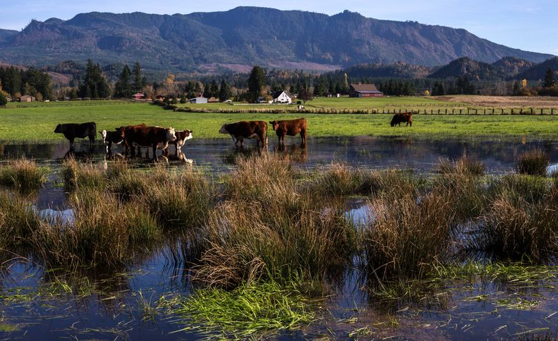 A cows in the water 1 (1 of 1)