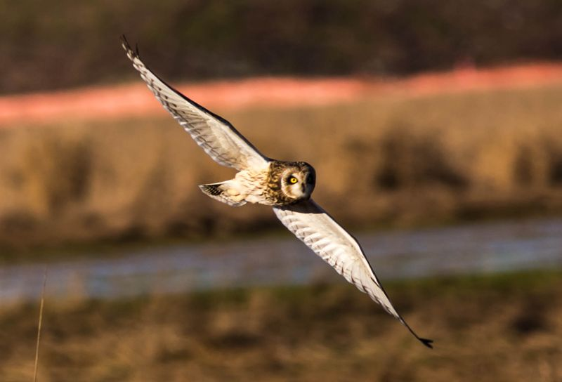 A short eared owl in flight 11 (1 of 1)