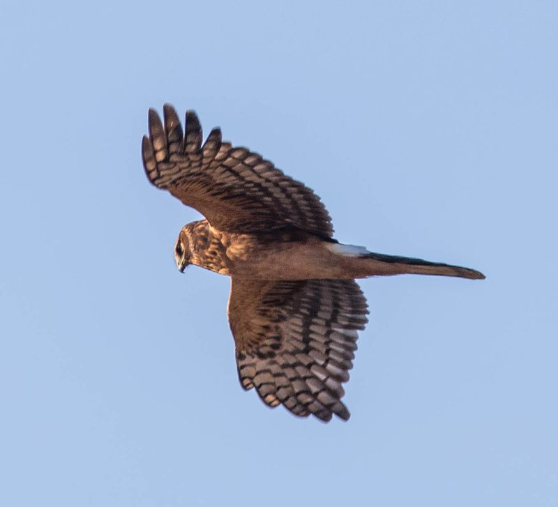 A Northern Harrier