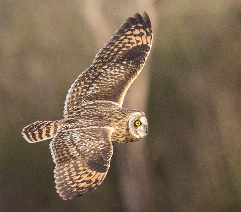 A short eared owl (1 of 1)