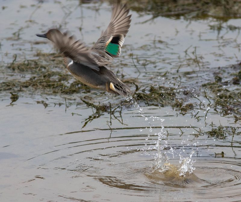 A green winged teal on take off (1 of 1)