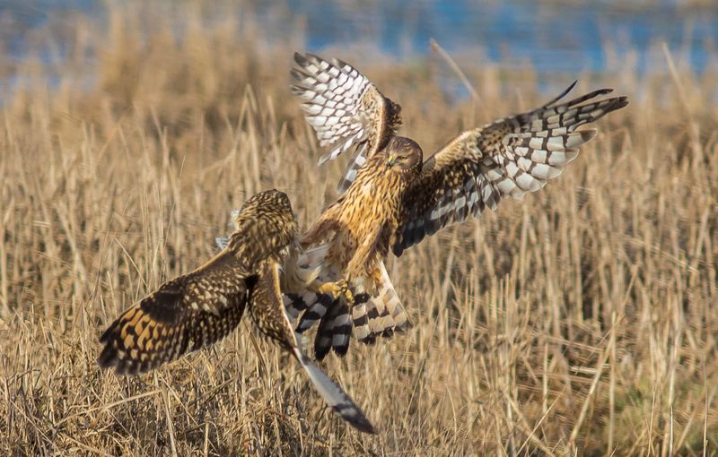 A owl and harrier 2