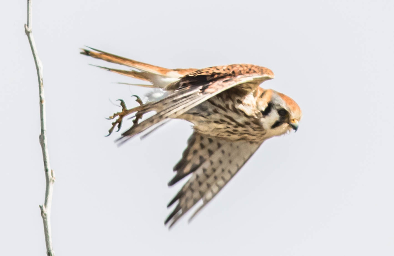 American Kestrel In Flight 1b