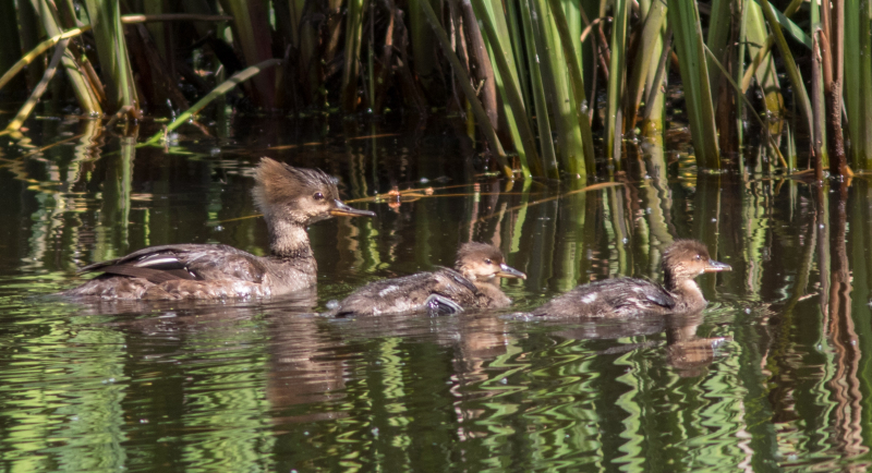 Hooded Mergansers 2
