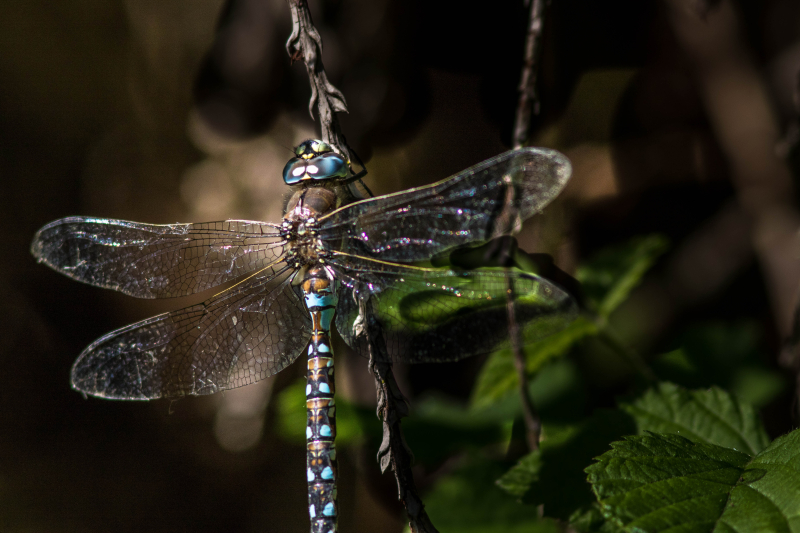 Dragonfly 5