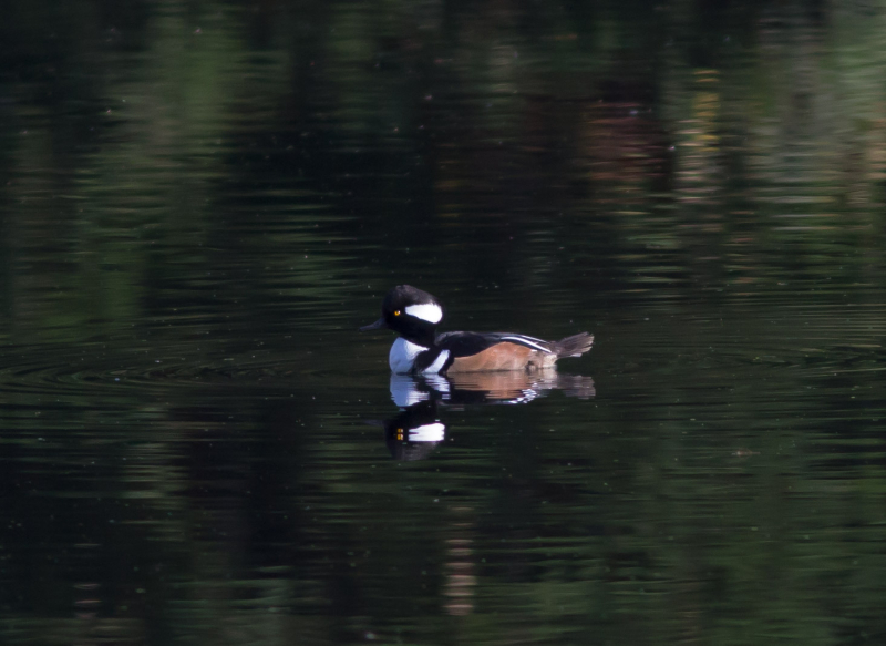 Hooded Merganser 1 (1 of 1)