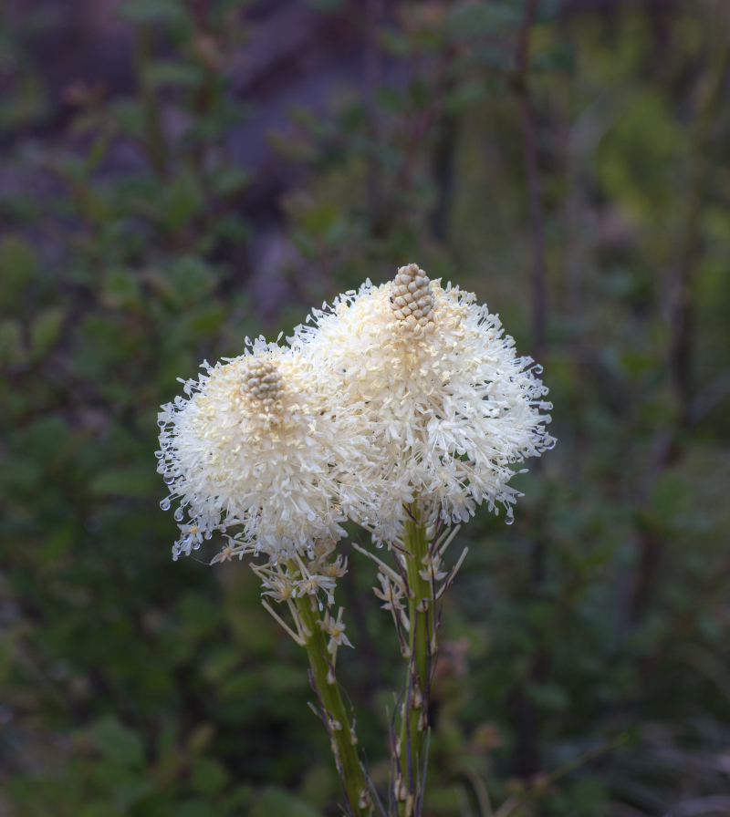 Beargrass 1-8241