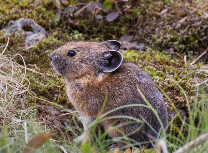 Pika 1a (1 of 1)
