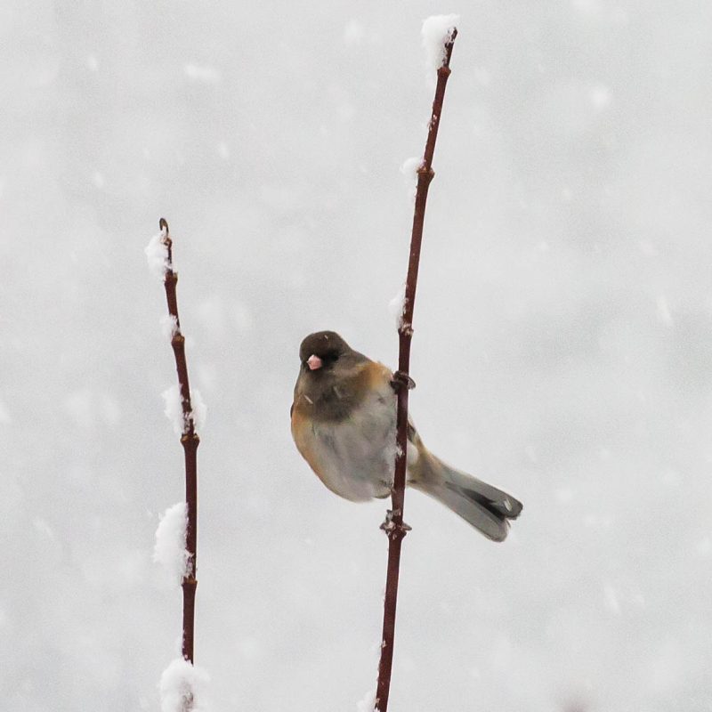 Junco 1a (1 of 1)
