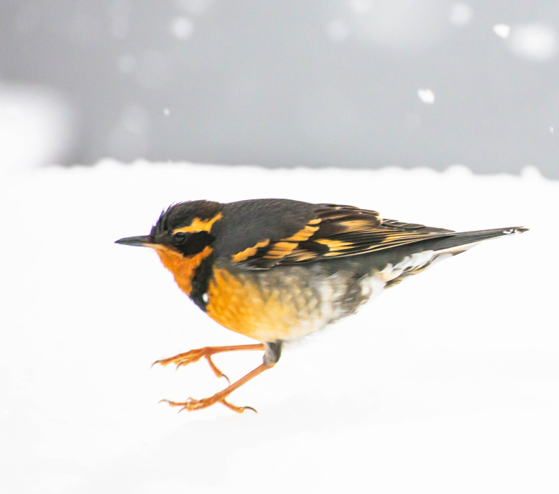 Varied Thrush 6 (1 of 1)