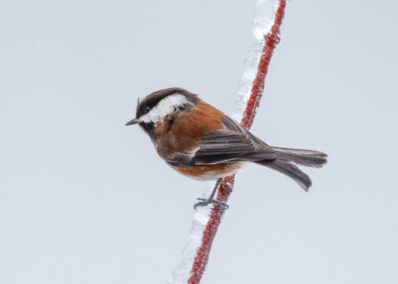 Chickadee 1a (1 of 1)