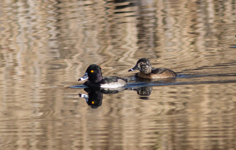 Ring-necked Duck 2a (1 of 1)