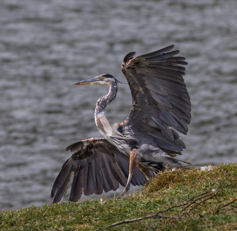 Heron Prancing 5a (1 of 1)