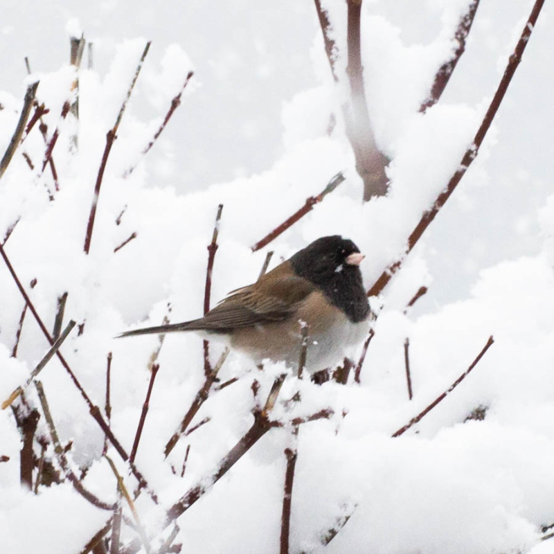 Junco 5 (1 of 1)