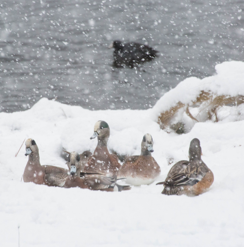 Wigeon Family 2 (1 of 1)