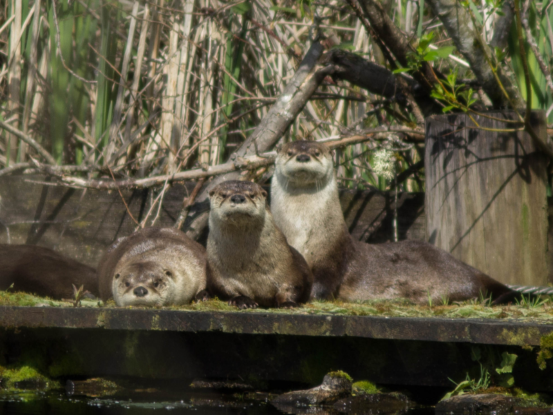 Lake Sawyer Otter Family