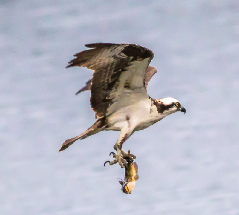 Osprey Fishing at Lake Sawyer