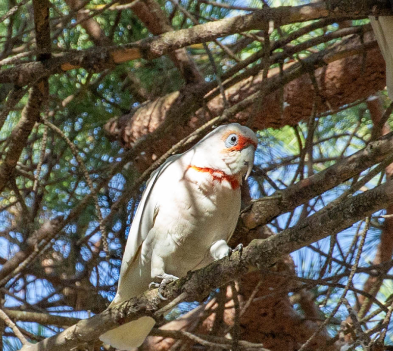 Cockatoo 1a (1 of 1)